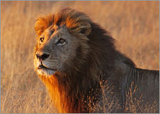 Lion in the evening light - Africa wildlife