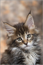 Maine Coon Kitten 17