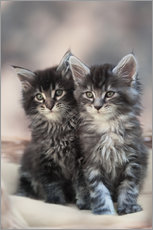Maine Coon Kittens 3