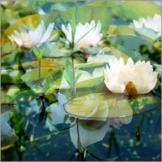 Montage of white water lilies
