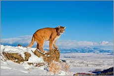 Puma standing on rock in snow, Rocky Mountains