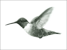 Ruby Throated Hummingbird Sketch
