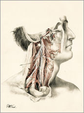 The Head and Neck. Internal Carotid and Ascending Pharyngeal Arteries, and Cranial Nerves in the Nec