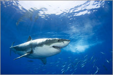 Great White Shark in front of Guadalupe