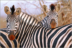 Zebra friendship, South Africa