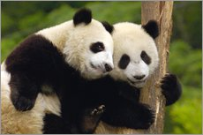 Two young pandas on a tree trunk