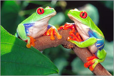 Red Eye Treefrog Pair