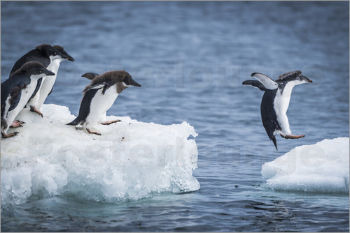 Poster Adelie penguins between two ice floes
