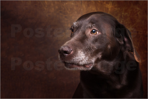 Janina Bürger - Alter Chocolate Labrador Portrait