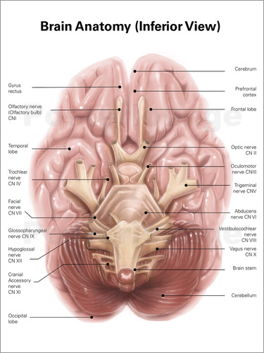 Alan Gesek Anatomy of human brain, inferior view. Poster online ...