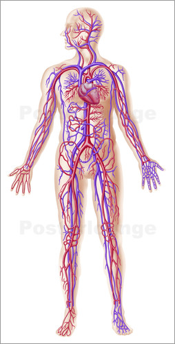 Leonello Calvetti - Anatomy of human circulatory system.