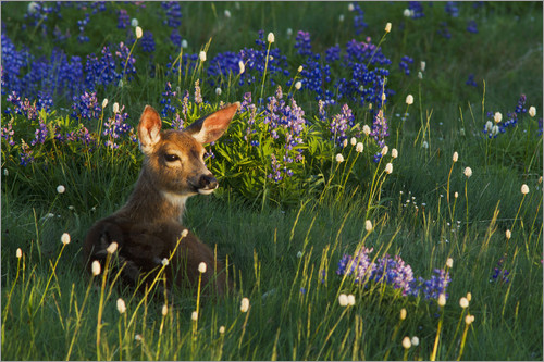 Ken Archer - Black-tail Deer Fawn, alpine wildflowers