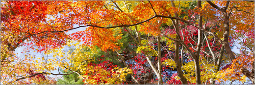 Poster Colorful forest in autumn as Panorama