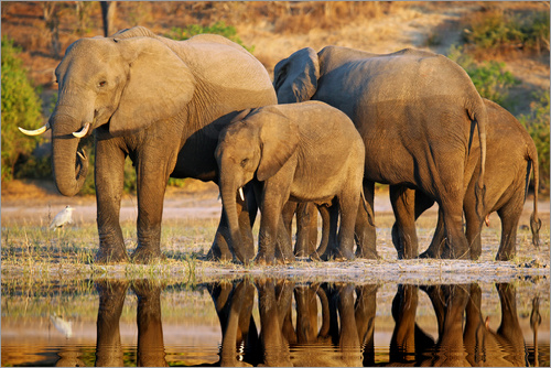 Poster Elefanten am Fluss, Afrika wildlife