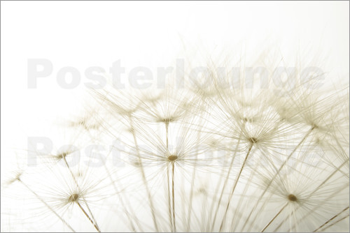 Poster flauschige Pusteblume