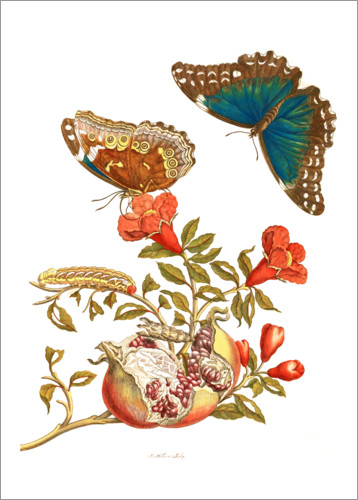 Poster Pomegranate and Blue Morpho