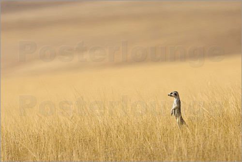 Poster Hoarusib Valley, Namibia. Africa. A Meerkat stands tall in the prarie grass.