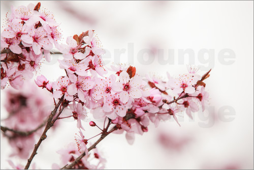 Poster Cherry blossoms