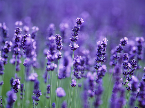 herbert kehrer lavandula angustifolia echter lavendel poster online bestellen posterlounge. Black Bedroom Furniture Sets. Home Design Ideas