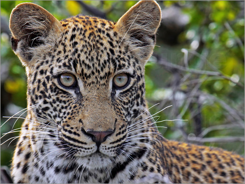 Poster The leopard - Africa wildlife