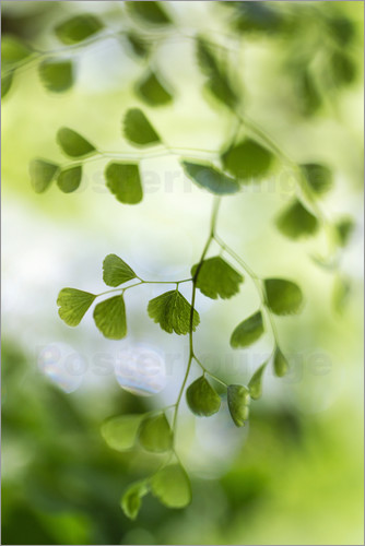 Mandy Disher - Maidenhair fern