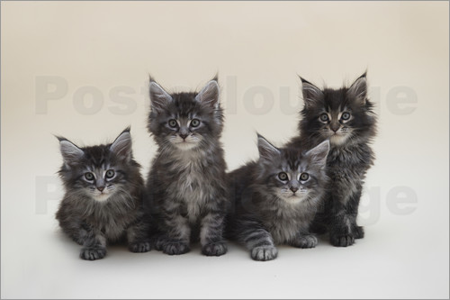 Poster Maine Coon Kittens 2