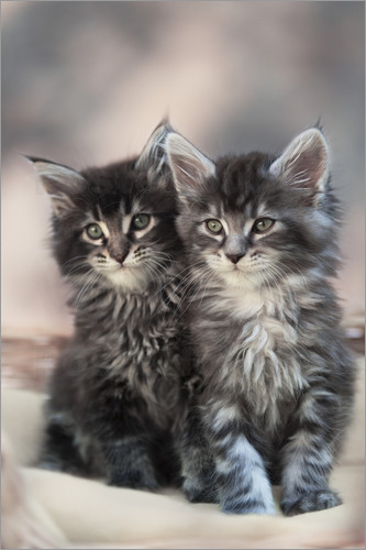 Poster Maine Coon Kittens 3