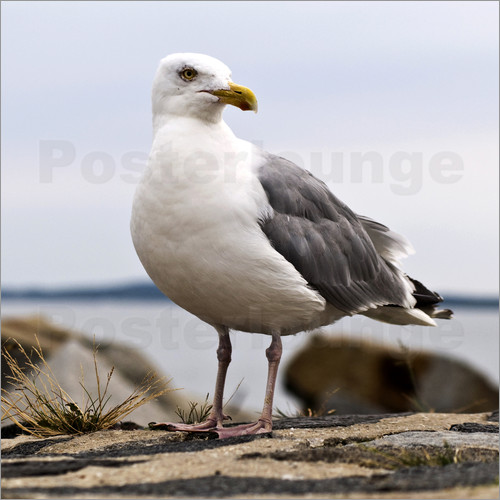 Poster Seagull at the port of Sassnitz, on the island of Rügen