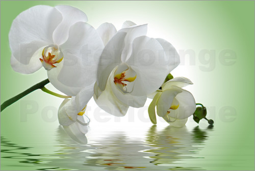 Poster Orchid with Reflection