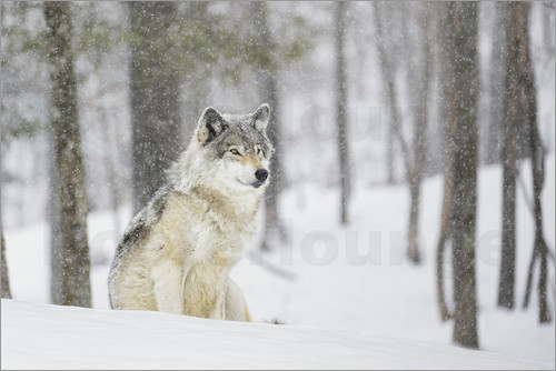 Dominic Marcoux - philosophierender Wolf