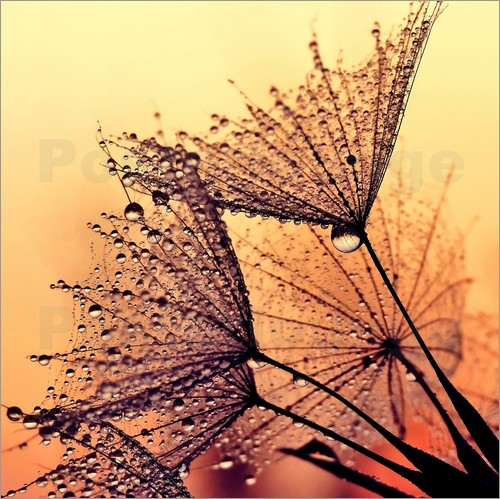 Poster Pusteblume Sunset Dream