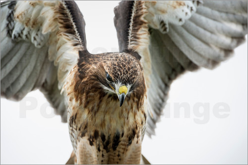 Janette Hill - Red-tailed hawk (Buteo jamaicensis), bird of prey, England, United Kingdom, Europe