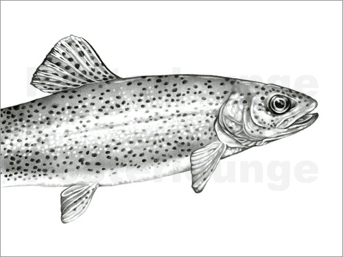 Poster Rainbow Trout Sketch