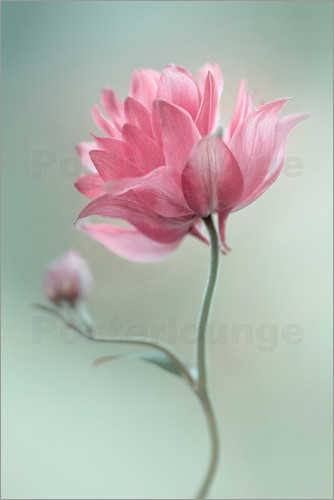 Mandy Disher - Rosa erröten