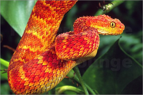Poster Red bush viper between leaves