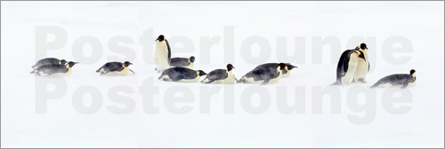 Poster Snow Hill, Antarctica. Colony of Emporer Penguins journey through the snow.