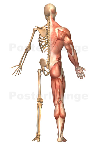 Stocktrek Images - The human skeleton and muscular system, back view.