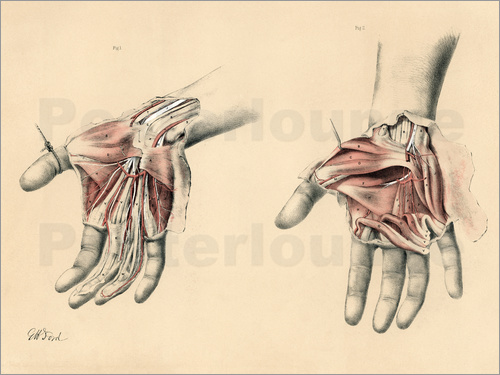 G. H. Ford - The Upper Limb. Superficial and Deep Views of the Palm of the Hand