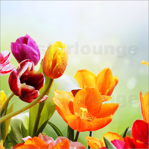 lichtspielart tulpen mit wassertropfen poster online. Black Bedroom Furniture Sets. Home Design Ideas