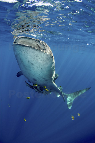 Poster Whale shark