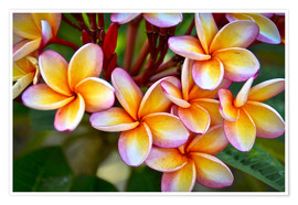 Premium-Poster  Frangipani Blüten - Mark Williford