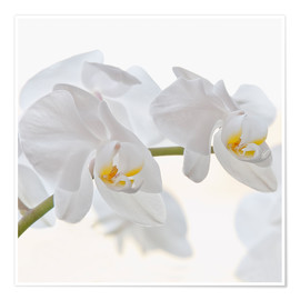 Premium-Poster Weisse Orchidee