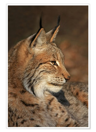 Poster Luchs