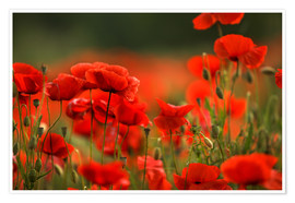 Poster Roter Mohn 14