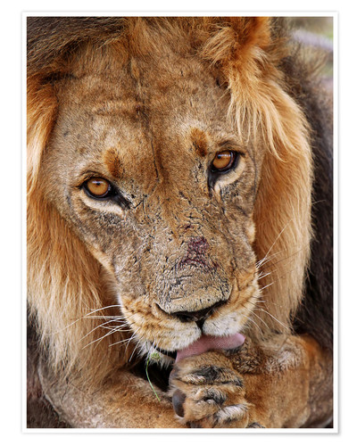 Poster View of the lion - Africa wildlife