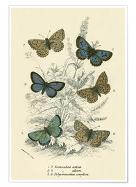 Premium-Poster  Butterflies - English School