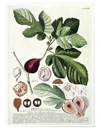 Poster Feige (Ficus)