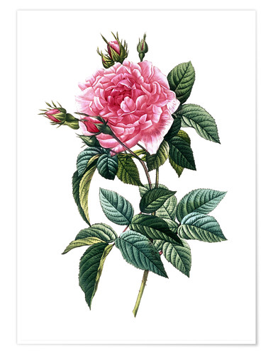 Premium-Poster Rose Gallica Regalis