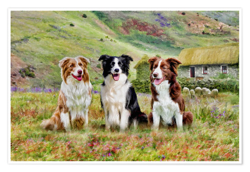 Premium-Poster Border Collies