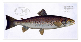 Poster  Pike plate XXXII from 'Ichthyologie, ou histoire naturelle generale et particuliere des poissons', b - Andreas-Ludwig Kruger